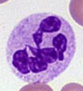 elevated neutrophils