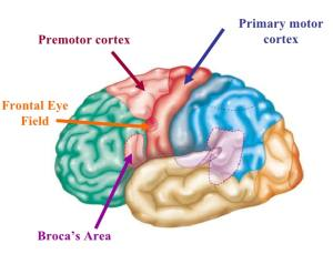 Premotor cortex medfriendly part of the brain ccuart Gallery