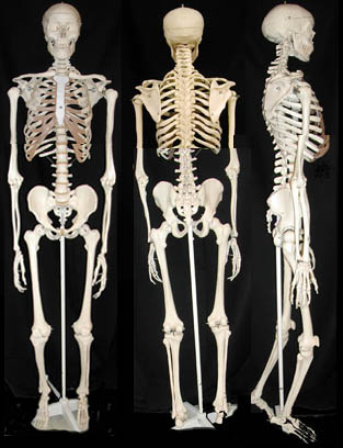 real human skeleton model, Skeleton